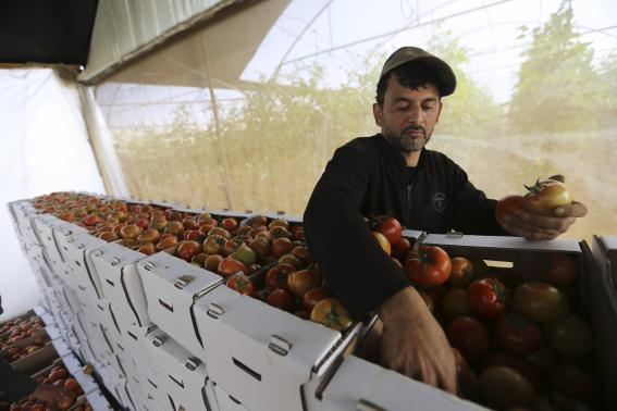 Palestinian farmer sorts tomatoes to be exported into Israel, on a farm in Deir El-Balah in the central Gaza Strip